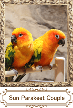Sun Parakeet Couple