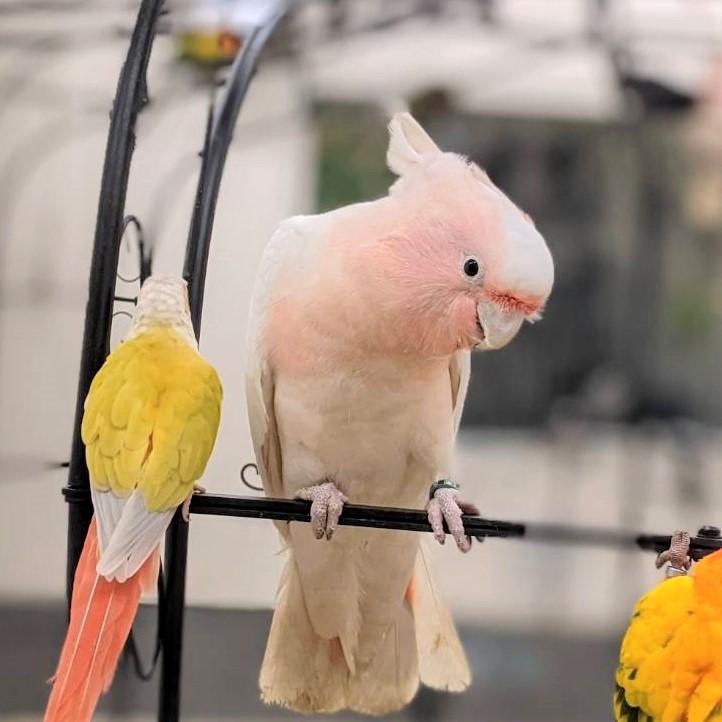 クルマサカオウム | 鳥のいるカフェ