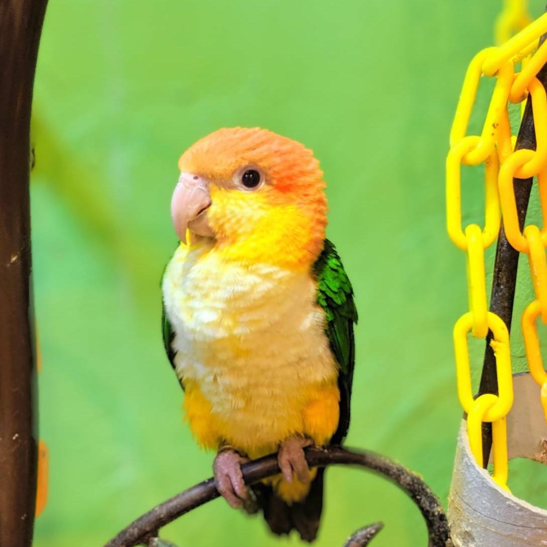 Birds for Sale | Torinoiru Cafe